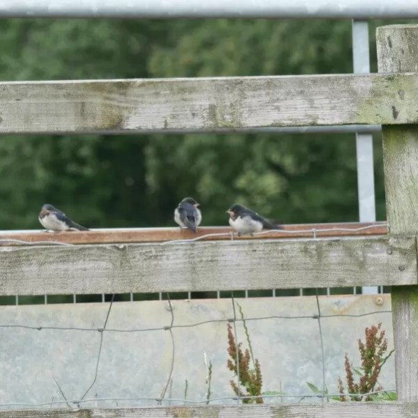 Project 52 2020 week 29 – house martins
