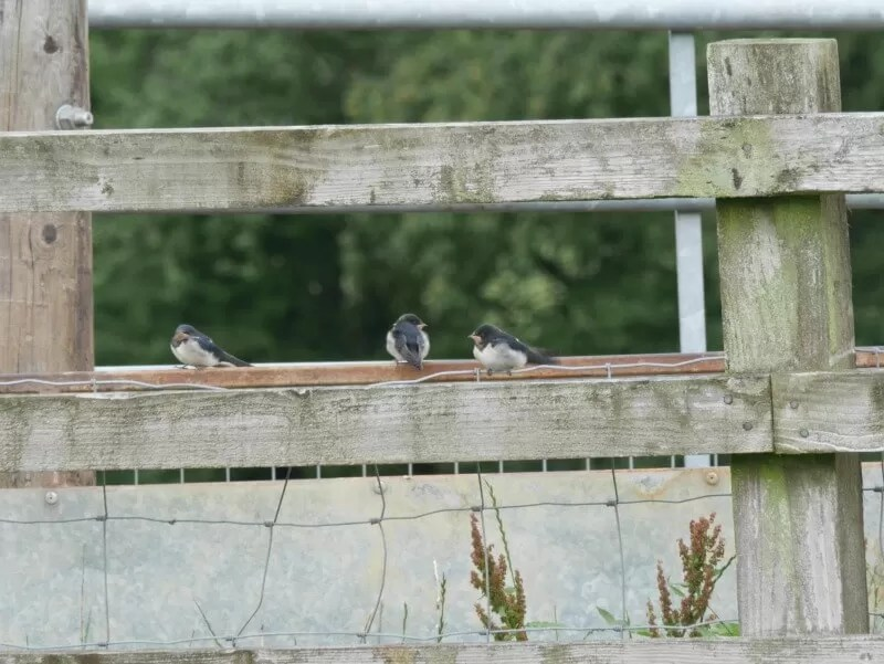 3 young house martins sitting on a fence post