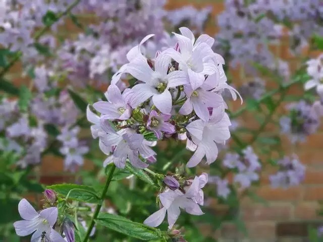pale lilac flowers