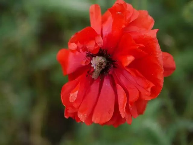 red poppy with bug in the centre