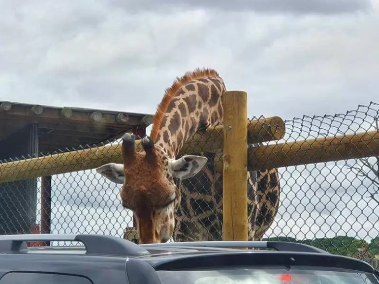 giraffe leaning over the fence