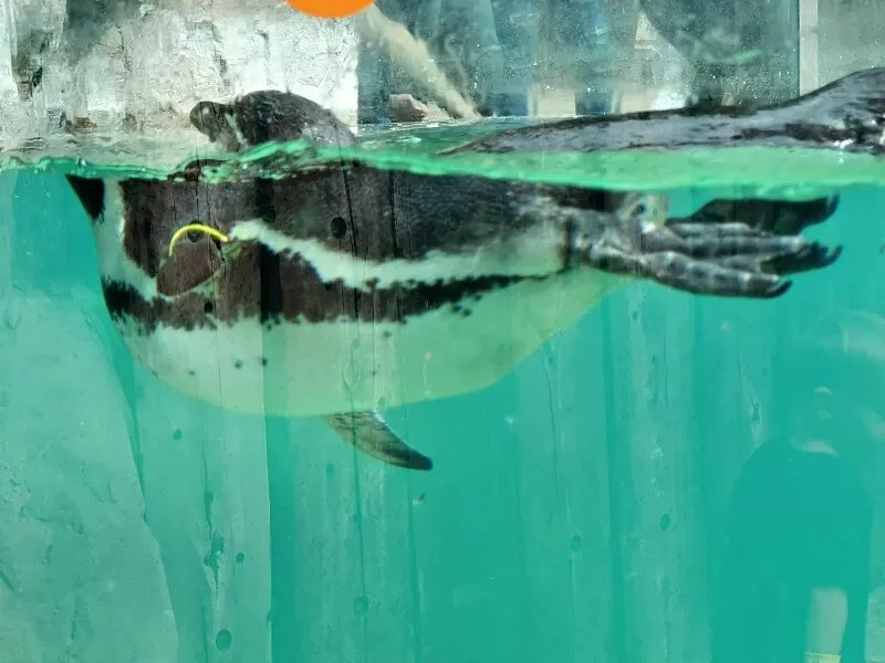penguin swimming image showing above and below water