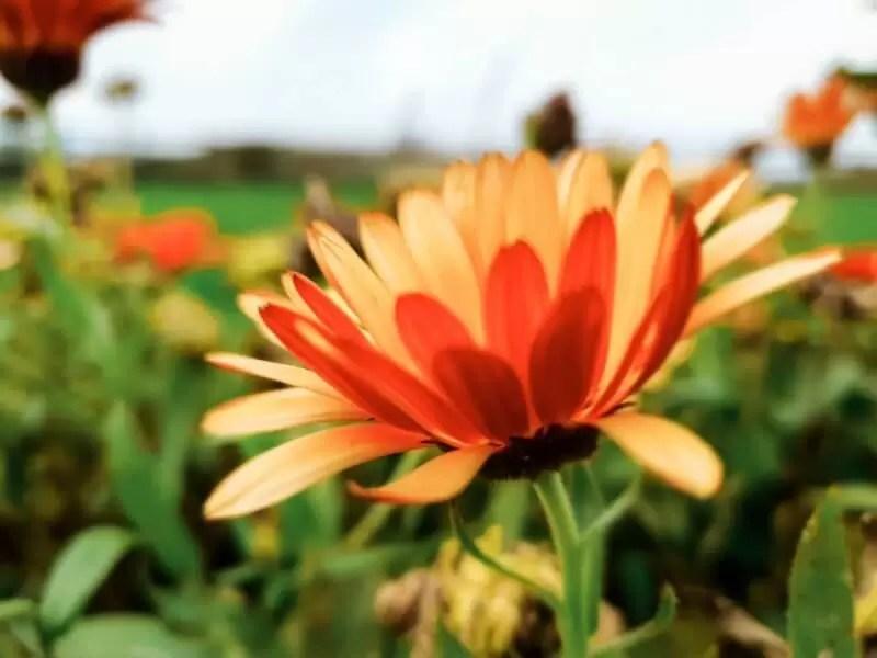 orange calenduar macro close up