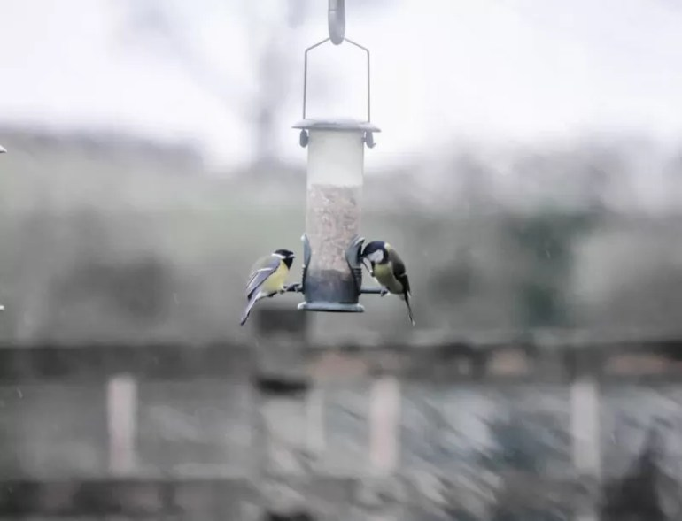 great tits on a bird feeder