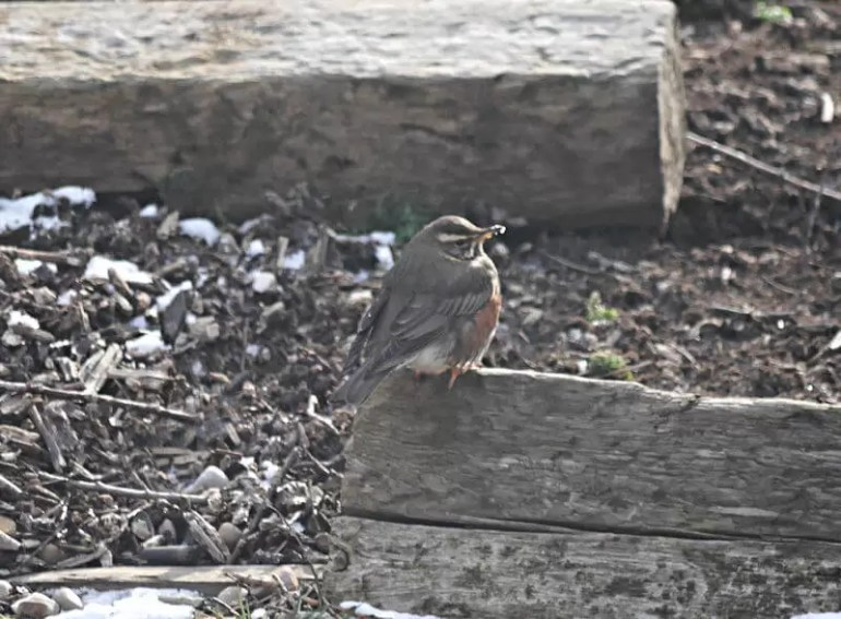 redwing bird on wooden sleeper