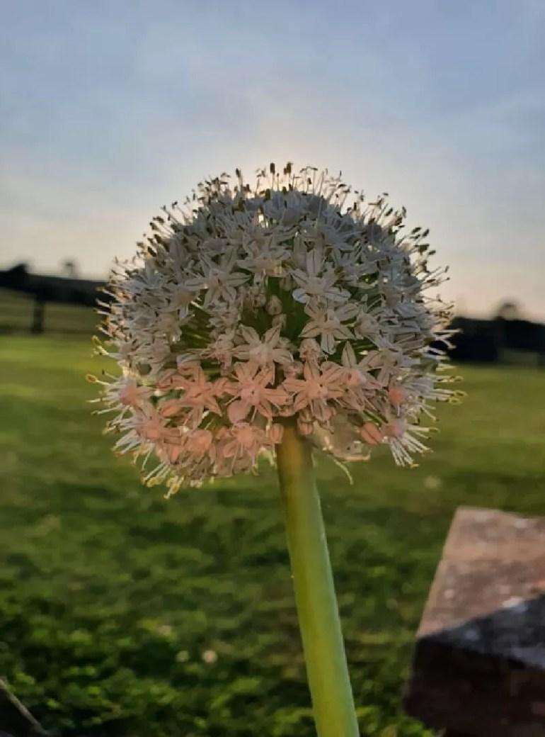 spring onion flower in sunset light