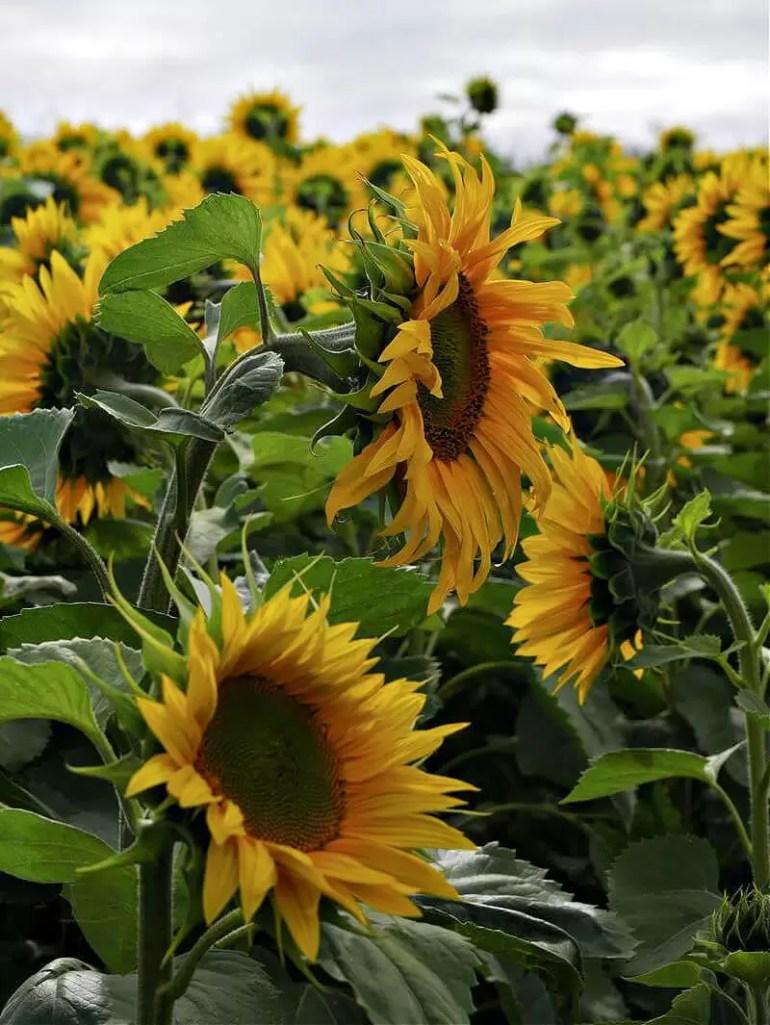 sunflower side views