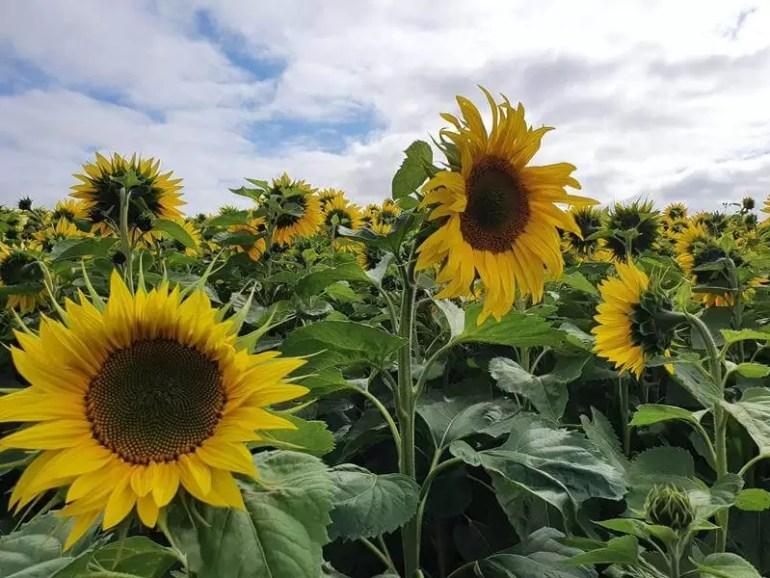 sunflowers close ups