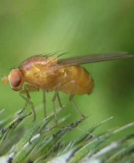 fruit fly drosophila melanogaster