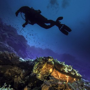 Cuttlefish and Diver at Banda Neira