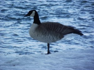 standing-goose