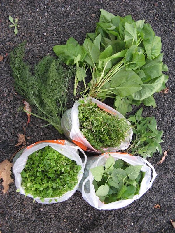 moje zbiory - luty na wyspie El Hierro: pokrzywa, fenkul wloski, rdestowiec, przytulia, gwiazdnica pospolita.