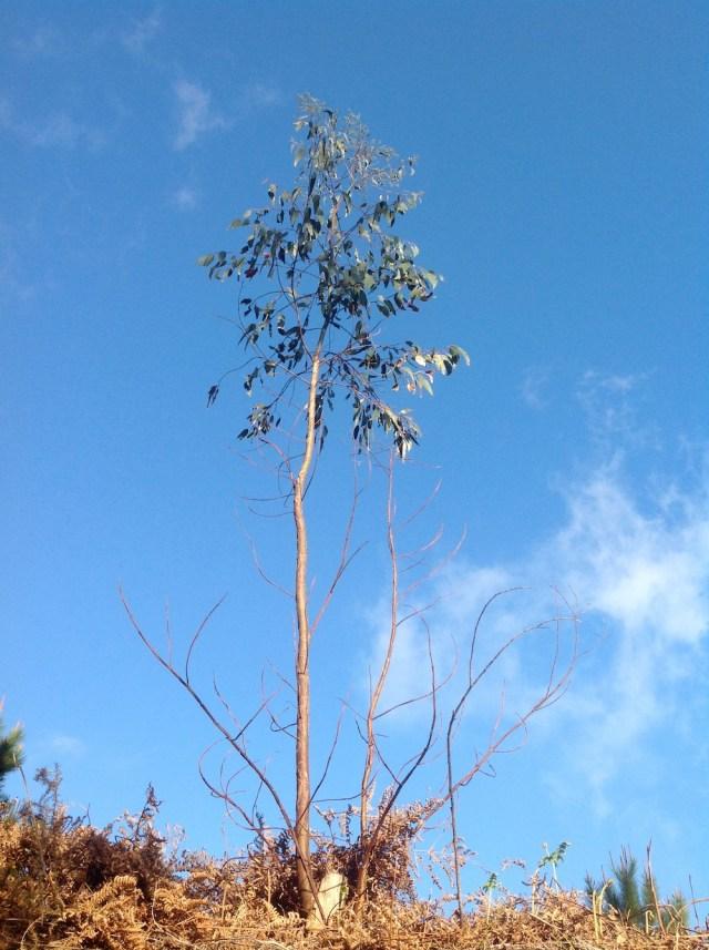 Eukaliptus fascynujace piekno i wytrwalosc