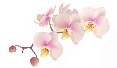 orchidee12