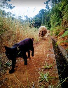 Willi pilnuje owieczek1