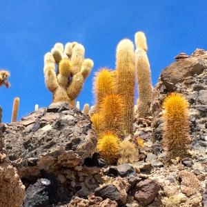 Cactus on island near lunch on the Salar