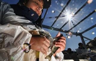 Alerta por el salmón rosado: la mayoría de lo que se importa de Chile tiene antibióticos
