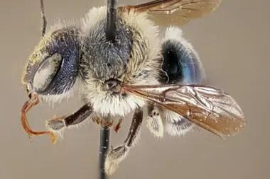 Una especie de abeja azul muy rara y oriunda de Florida fue encontrada por expertos