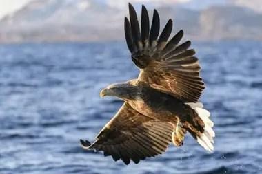 Un águila de cola blanca pescando en Noruega