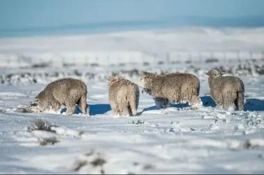 El laboratorio también prevé impulsar desde la genética la producción local de ovinos