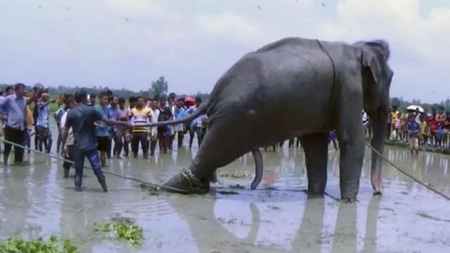 Cientos de personas intentaron rescatar al elefante en Bangladesh
