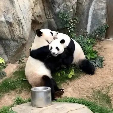 Los pandas iniciaron hace días la