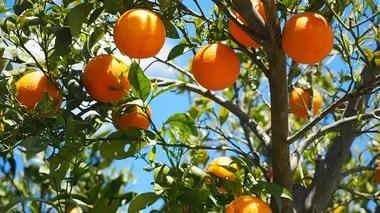 El HLB es una preocupación entre los productores citrícolas