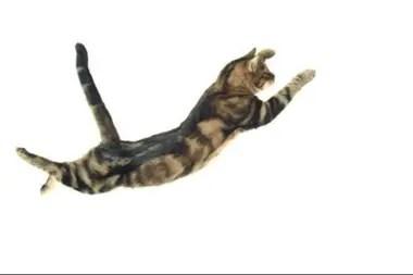 El modelo de Rademaker y Ter Braak reveló el movimiento más importante de los que realizan los gatos para caer con equilibrio
