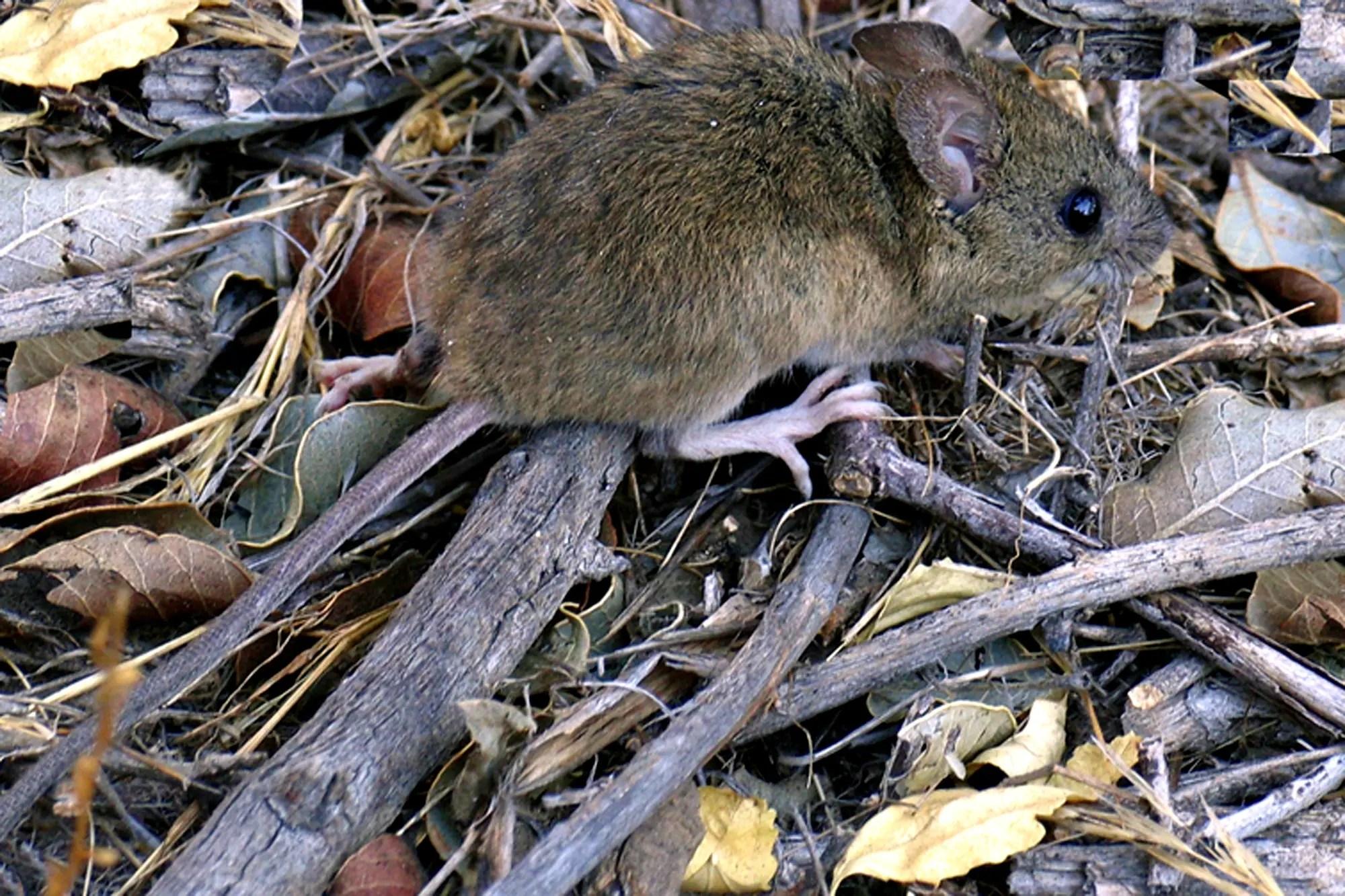 A long mouse mouse transmitting various voltages of Hantavirus – satmu
