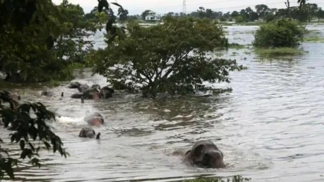 Las inundaciones obliga a miles de animales a desplazarse durante la época de lluvia en India y Bangladesh