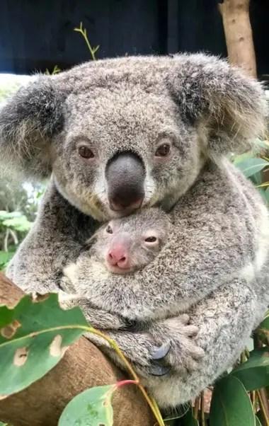 Miles de koalas fallecieron en los últimos incendios forestales en Australia