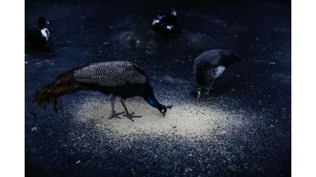 Pavos Reales se alimentan de granos molidos