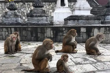 Por cercanía genética y física algunos monos, como estos macacos Rhesus, son fuente de varias zoonosis