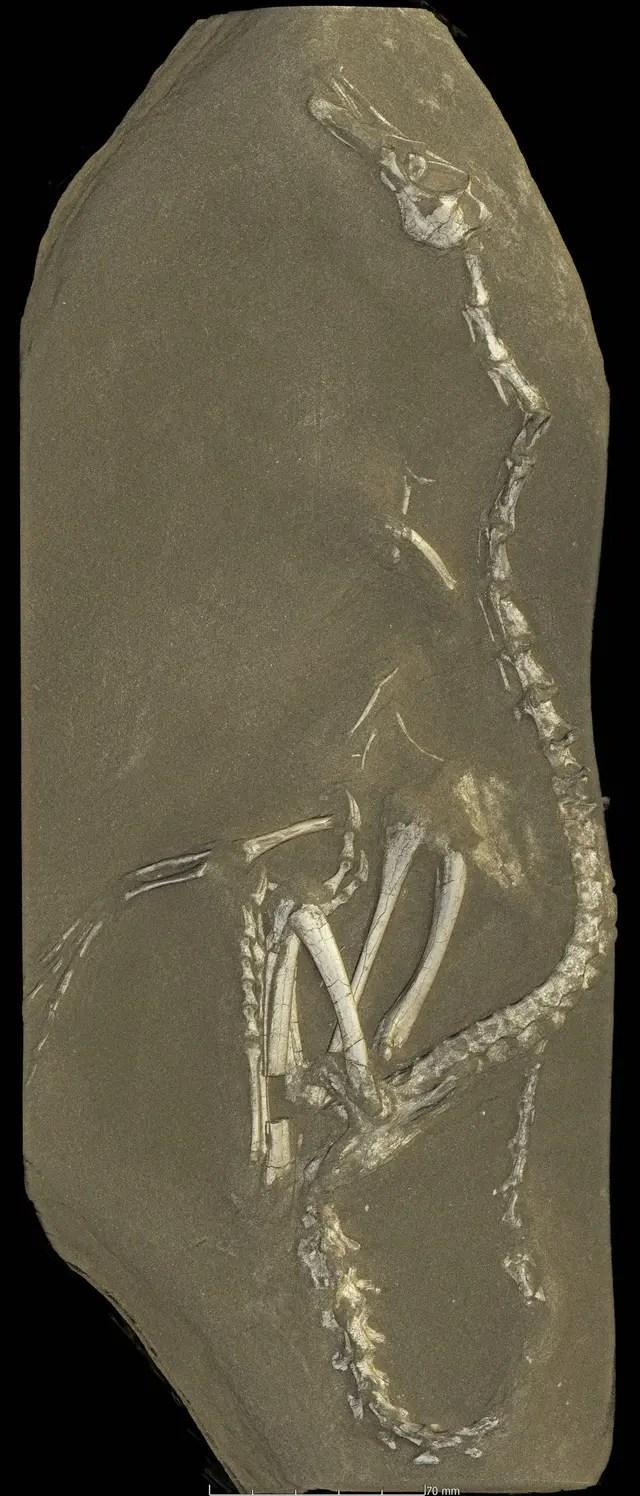 El dinosaurio fue bautizado Halszkaraptor escuilliei o Halszka, en honor del fallecido paleontólogo polaco Halszka Osmolska