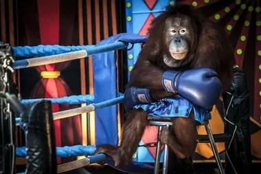 Este orangután estaba siendo explotado como espectáculo