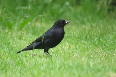 Tordo renegrido, una de las especies de aves que se pueden encontrar en los jardines de nuestro país.