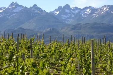 Los picos nevados les dan marco a las vides en Viñas de Nant y Fall, en el valle de Trevelin, Chubut