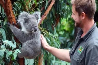Los koalas son una especie única de Australia