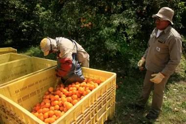 En el norte del país todos los años trabajan cerca de 35.000 personas en la recolección de cítricos
