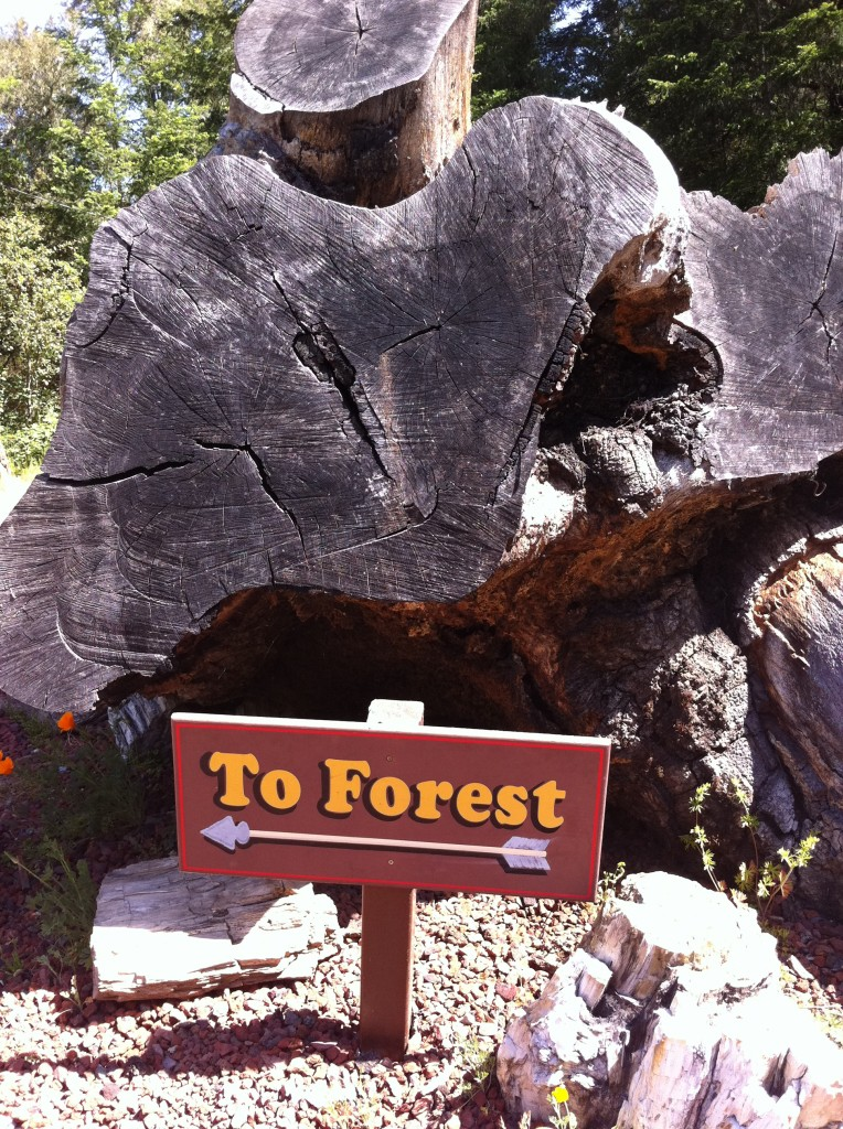 petrified forest in Calistoga