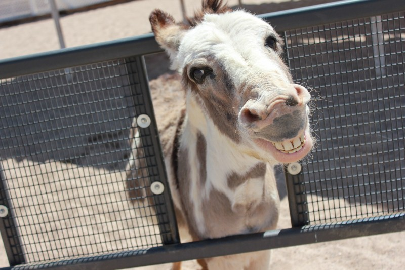 Smiling Donkey at Ostrich Farm