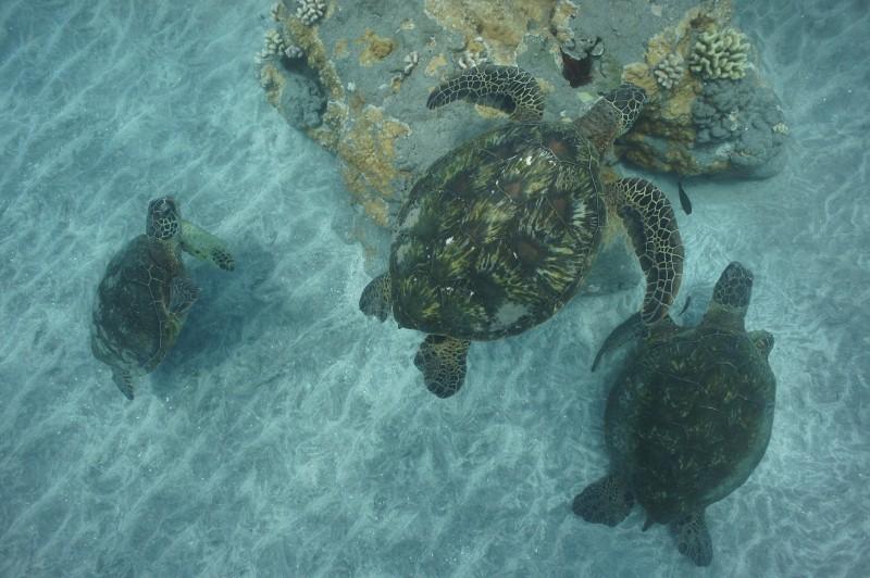 Swimming with Sea Turtles in Olowalu Maui