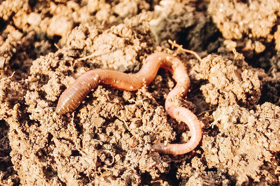 Earthworms that are edible
