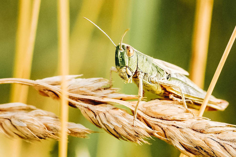 Locust on a branch