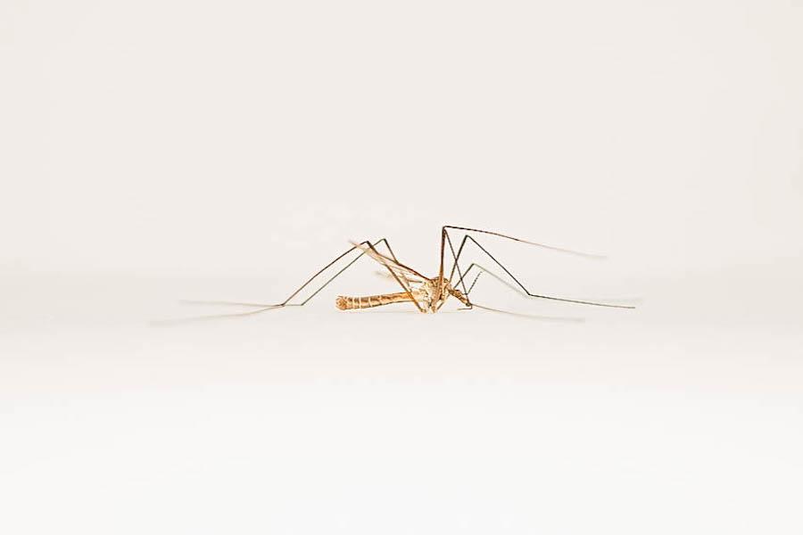 Midge Fly on a white background