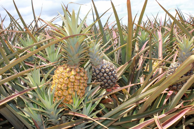 Pineapple Farm in Hali'imaile
