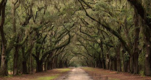 Best things to do in Savannah Ga: Drive through Wormsloe Oaks