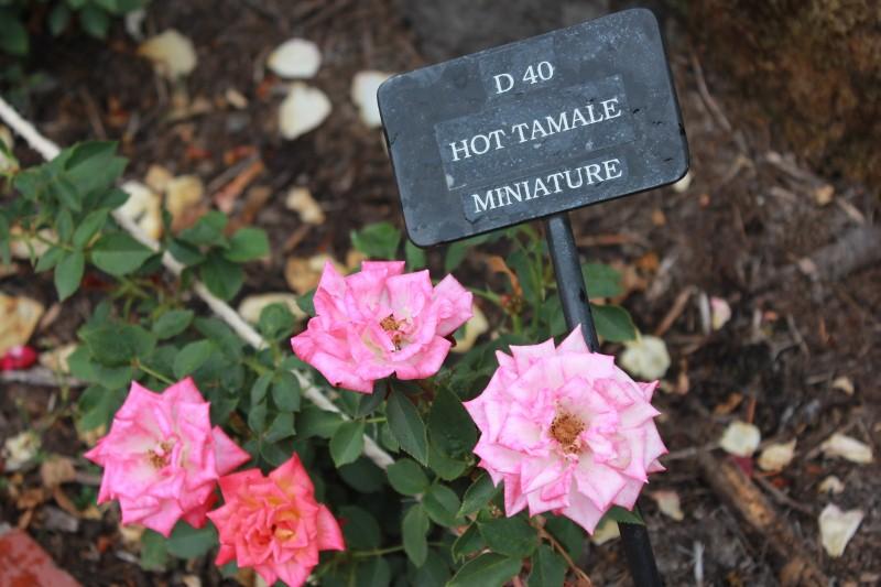 Hot Tamale at Rose Garden