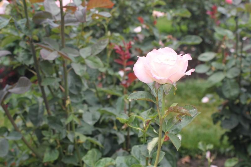 Secret at Rose Garden