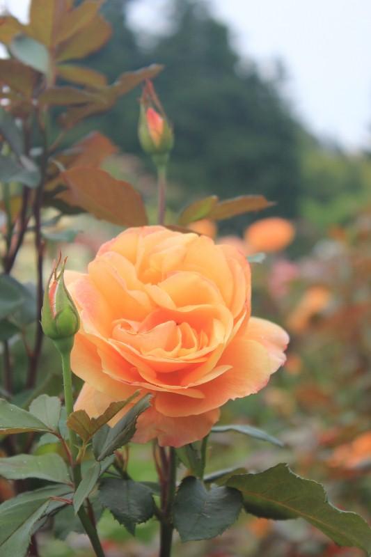 Strike it Rich Rose